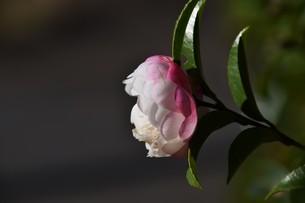 サザンカ ・ 冬の寂しい庭を彩ってくれる山茶花の花の写真素材 [FYI01204514]