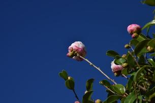サザンカ ・ 冬の寂しい庭を彩ってくれる山茶花の花の写真素材 [FYI01204516]