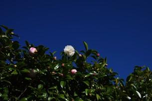 サザンカ ・ 冬の寂しい庭を彩ってくれる山茶花の花の写真素材 [FYI01204517]