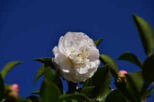 サザンカ ・ 冬の寂しい庭を彩ってくれる山茶花の花の写真素材 [FYI01204518]