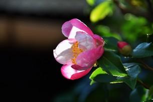 サザンカ ・ 冬の寂しい庭を彩ってくれる山茶花の花の写真素材 [FYI01204519]