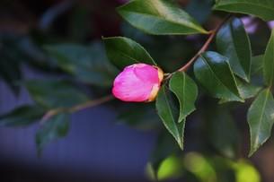 サザンカ ・ 冬の寂しい庭を彩ってくれる山茶花の花の写真素材 [FYI01204520]