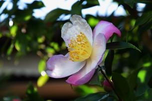 サザンカ ・ 冬の寂しい庭を彩ってくれる山茶花の花の写真素材 [FYI01204521]