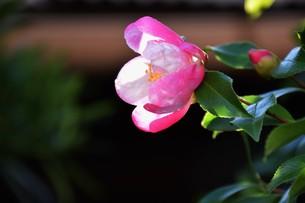 サザンカ ・ 冬の寂しい庭を彩ってくれる山茶花の花の写真素材 [FYI01204522]