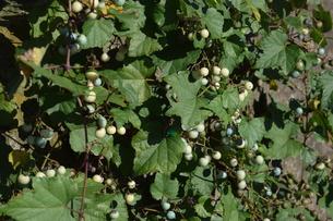 ノブドウ(野葡萄)の実 ・ 美しさゆえに その食味は不味いの写真素材 [FYI01204568]