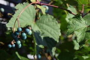ノブドウ(野葡萄)の実 ・ 美しさゆえに その食味は不味いの写真素材 [FYI01204569]
