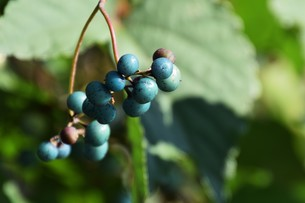 ノブドウ(野葡萄)の実 ・ 美しさゆえに その食味は不味いの写真素材 [FYI01204570]