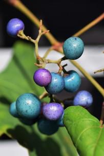 ノブドウ(野葡萄)の実 ・ 美しさゆえに その食味は不味いの写真素材 [FYI01204572]