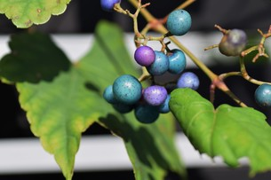 ノブドウ(野葡萄)の実 ・ 美しさゆえに その食味は不味いの写真素材 [FYI01204573]