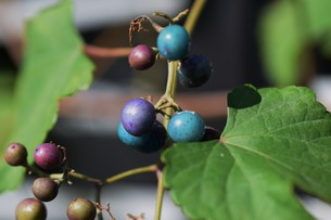 ノブドウ(野葡萄)の実 ・ 美しさゆえに その食味は不味いの写真素材 [FYI01204574]