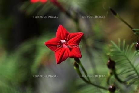 ルコウソウ(縷紅草)・ つる性で緑のカーテンや 生垣に最適の写真素材 [FYI01204622]