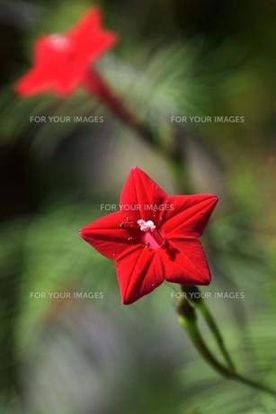 ルコウソウ(縷紅草)・ つる性で緑のカーテンや 生垣に最適の写真素材 [FYI01204623]