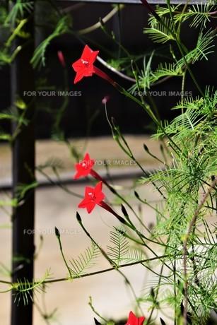 ルコウソウ(縷紅草)・ つる性で緑のカーテンや 生垣に最適の写真素材 [FYI01204624]