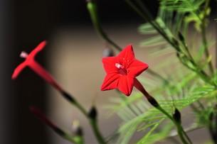 ルコウソウ(縷紅草)・ つる性で緑のカーテンや 生垣に最適の写真素材 [FYI01204625]