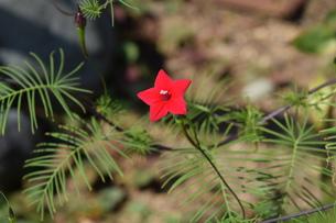 ルコウソウ(縷紅草)・ つる性で緑のカーテンや 生垣に最適の写真素材 [FYI01204626]