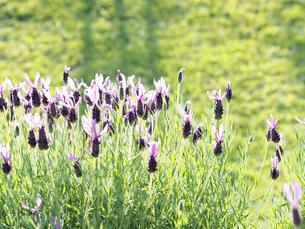 綺麗に咲いている紫色のラベンダーの写真素材 [FYI01204651]