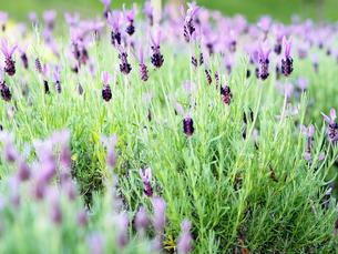 綺麗に咲いている紫色のラベンダーの写真素材 [FYI01204652]