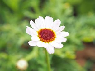 綺麗に咲いている白色の花の写真素材 [FYI01204660]