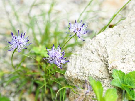 綺麗に咲いている紫色の花の写真素材 [FYI01204667]