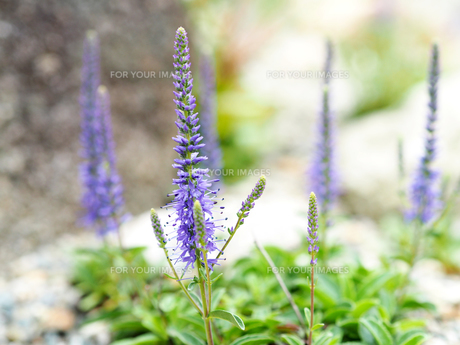 綺麗に咲いている紫色の花の写真素材 [FYI01204669]