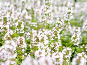 綺麗に咲いている白色の花の写真素材 [FYI01204675]