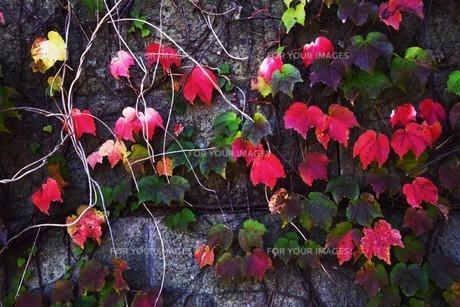 蔦の紅葉 「ツタモミジ」の写真素材 [FYI01204684]