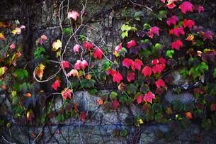 蔦の紅葉 「ツタモミジ」の写真素材 [FYI01204685]
