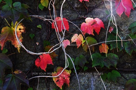 蔦の紅葉 「ツタモミジ」の写真素材 [FYI01204686]