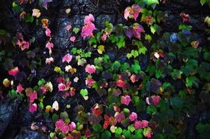 蔦の紅葉 「ツタモミジ」の写真素材 [FYI01204687]