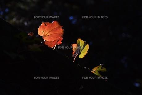蔦の紅葉 「ツタモミジ」の写真素材 [FYI01204689]