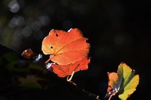 蔦の紅葉 「ツタモミジ」の写真素材 [FYI01204690]