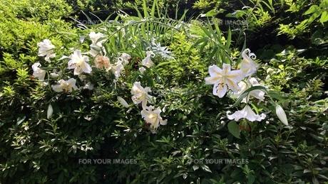 植物 山百合の写真素材 [FYI01204754]