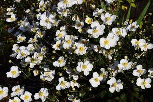 シュウメイギク(秋明菊)・ 秋の陽ざしを浴びて優雅に咲き誇る…の写真素材 [FYI01204838]