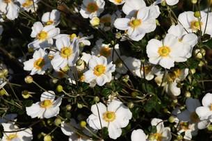シュウメイギク(秋明菊)・ 秋の陽ざしを浴びて優雅に咲き誇る…の写真素材 [FYI01204839]