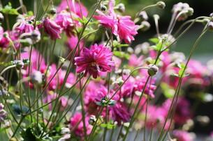 シュウメイギク(秋明菊)・ 秋の陽ざしを浴びて優雅に咲き誇る…の写真素材 [FYI01204840]