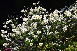 シュウメイギク(秋明菊)・ 秋の陽ざしを浴びて優雅に咲き誇る…の写真素材 [FYI01204841]