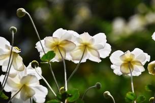 シュウメイギク(秋明菊)・ 秋の陽ざしを浴びて優雅に咲き誇る…の写真素材 [FYI01204842]