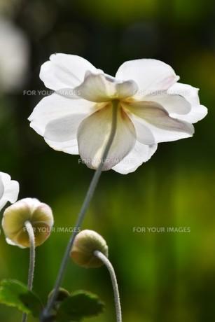 シュウメイギク(秋明菊)・ 秋の陽ざしを浴びて優雅に咲き誇る…の写真素材 [FYI01204843]
