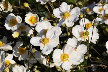 シュウメイギク(秋明菊)・ 秋の陽ざしを浴びて優雅に咲き誇る…の写真素材 [FYI01204844]