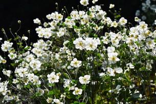 シュウメイギク(秋明菊)・ 秋の陽ざしを浴びて優雅に咲き誇る…の写真素材 [FYI01204845]
