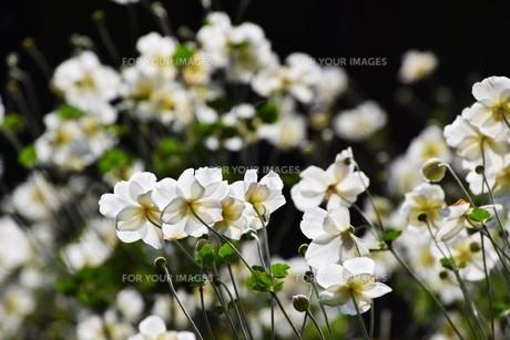 シュウメイギク(秋明菊)・ 秋の陽ざしを浴びて優雅に咲き誇る…の写真素材 [FYI01204846]
