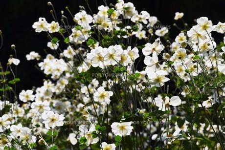 シュウメイギク(秋明菊)・ 秋の陽ざしを浴びて優雅に咲き誇る…の写真素材 [FYI01204847]