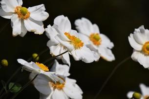 シュウメイギク(秋明菊)・ 秋の陽ざしを浴びて優雅に咲き誇る…の写真素材 [FYI01204849]