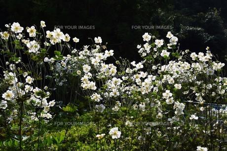 シュウメイギク(秋明菊)・ 秋の陽ざしを浴びて優雅に咲き誇る…の写真素材 [FYI01204850]