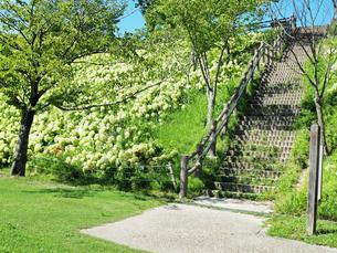綺麗に咲いているアジサイがある階段の写真素材 [FYI01204886]