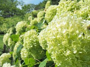 綺麗に咲いているアジサイの写真素材 [FYI01204887]