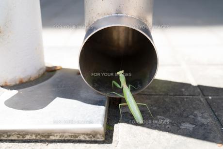 穴に入るカマキリの写真素材 [FYI01205001]