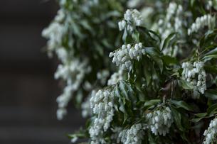 白い花の写真素材 [FYI01205004]
