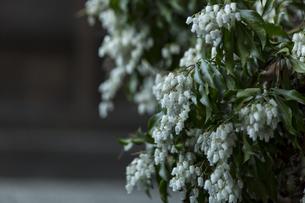 白い花の写真素材 [FYI01205005]