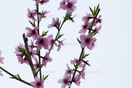 桃の花の写真素材 [FYI01205079]
